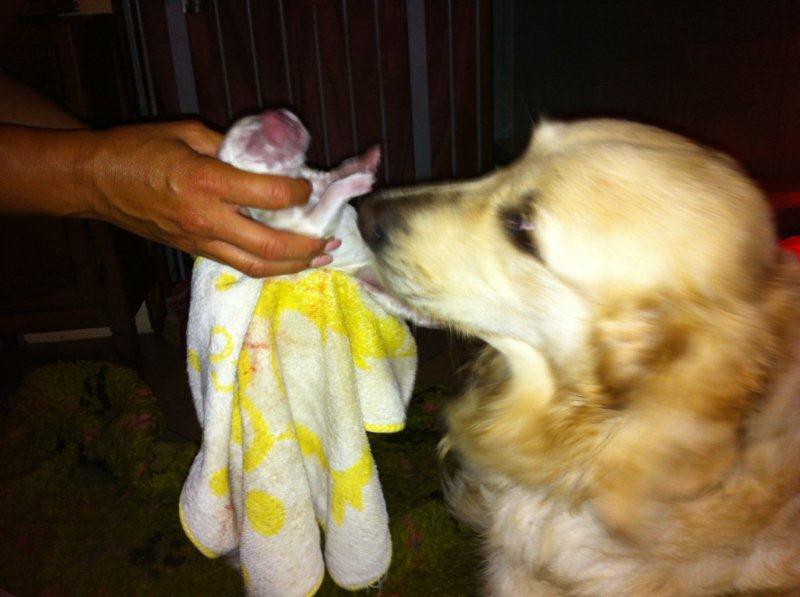 Il primo cucciolo viene al mondo...